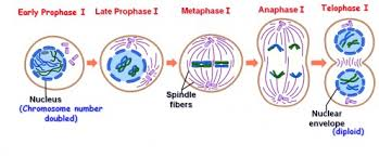 multiple choice questions on cell division meiosis mcq biology