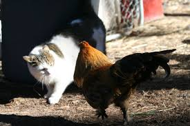 cats and chickens backyard chickens