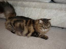our cats lakeland siberians