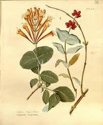 escape of the invasives top six invasive plant species in the lonicera semper virens artscult com pinterest