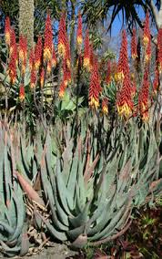 small aloes u2013 interesting colorful and easy succulents u2013 master