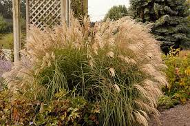 gardening with ornamental grasses growing ornamentatal grasses