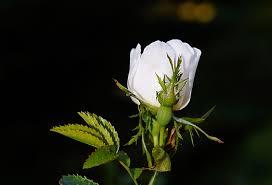 white petal rose flower free image peakpx