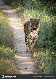 tiger in the jungle stock photo clinweaver gmail com 147014145