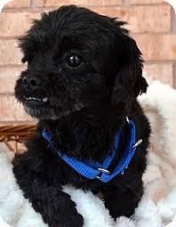 affenpinscher with underbite corbin adoption pending adopted dog bridgeton mo poodle