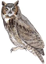 drawn owl great horned owl pencil and in color drawn owl great