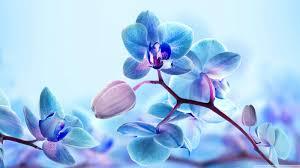 blue orchid flower blue orchid flowers hd desktop wallpaper instagram photo