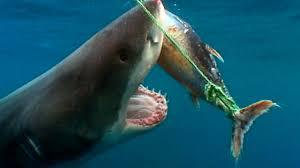 sharks discovery kids