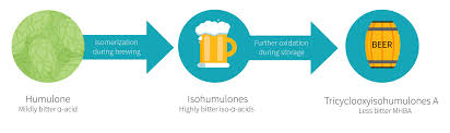 a compound from beer may help fat loss examine com