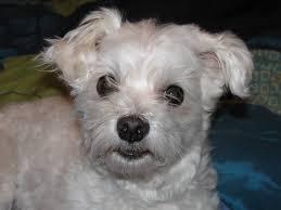 affenpinscher a vendre quebec maltese bichon maltais dog chien animaux chien pinterest