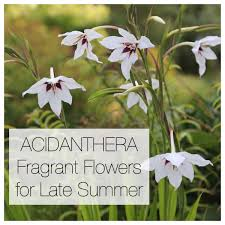 Climbing Plant With Fragrant Flowers Acidanthera Fragrant Flowers For Late Summer Longfield Gardens