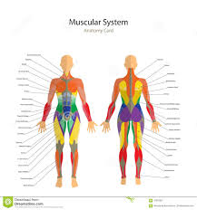 Female Muscles Anatomy Muscle Anatomy Training Human Anatomy Muscle System Female Stock