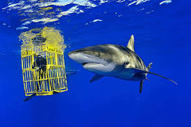 why video of shark in diver cage may show positive trend for shark