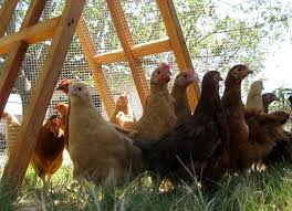 Backyard Poultry For Sale by Chickens Fence For Sale