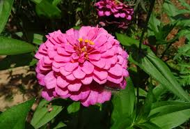 free photo zinnia flower pink flora plant free image on