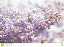 pink flowers spring background lilac bush closeup soft focus