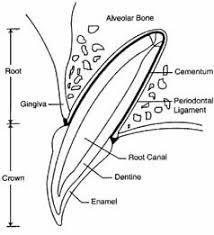 Dog Tooth Anatomy Zoetis Periodontal Disease Zoetis Za