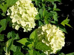 native plants christchurch limelights jpg