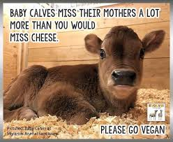 Calves Meme - baby calves miss their mothers a lot more than you would miss