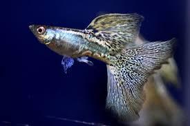 guppy fish breeder
