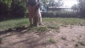 training a australian shepherd australian shepherd mystic highlands got a star