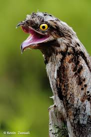 Potoo Bird Meme - my favorite animal the potoo album on imgur