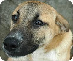 belgian shepherd x mastiff lola adopted dog by 3 ripley tn english mastiff german