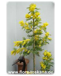 Kies Garten Gelb Acacia Dealbata Silber Akazie Gelbe Mimose Flora Toskana
