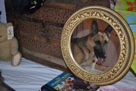 belgian shepherd headbutt the mystery of burt u0027s bees tales and tails