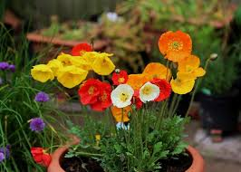 Flower Boxes That Thrive In by Growing Poppies In Pots Care U0026 How To Grow Poppies In Containers