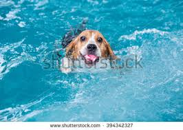 dog swimming stock images royalty free images u0026 vectors