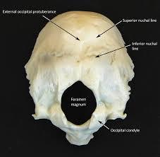 Human Anatomy Skull Bones Skull Labeled Human Anatomy Web Site