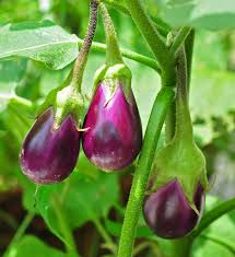 plants native to africa eggplant wikipedia