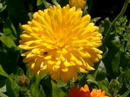 10 best yellow flower images on pinterest yellow flowers