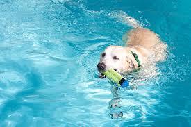 royalty free dog yellow labrador retriever swimming retrieving