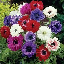 anemone flowers zyverden wind flowers anemones st brigid mixed bulbs set of