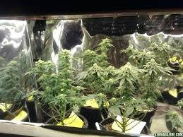 cfl lights for growing weed best cfl grow light trashtrucks org
