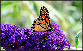 butterfly in may the purple butterfly bush he s on s flickr