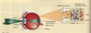What Structure Of The Eye Focuses Light On The Retina Visual Pathways