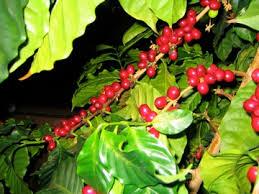 ii growing coffee trees