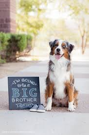 cut n loose australian shepherds baby announcement with brizzie my australian shepherd dog all