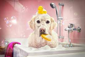 brushing a bedlington terrier dog grooming for total amateurs