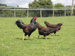 best chicken breeds for meat uk with 11 best meat chicken breeds