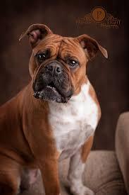boxer dog female boxer dog photos boxer dog info and health tips