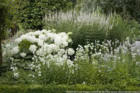hydrangea white hydrangea arborescens annabelle smooth hydrangea