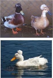 info about duck breeds and more my golden buffies