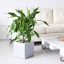 dracaena dracaena art plant delivery shop online my city plants