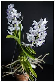 vanda orchids white vanda orchid the ricetrail