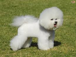 10 boxer dog facts bichon frise dog breed information buying advice photos and