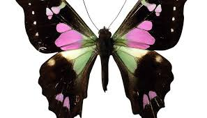 meaning of a butterfly that enters the home synonym